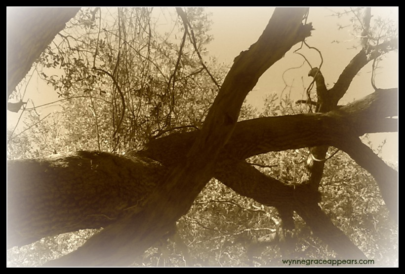 big bent tree sepia