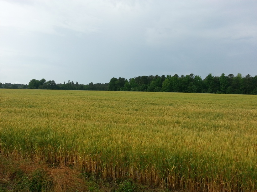 wheatfields leaving birdfest