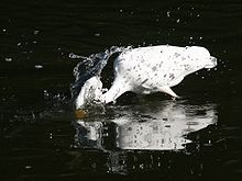 220px-Great_Egret_strikes_for_a_Fish_-_crop