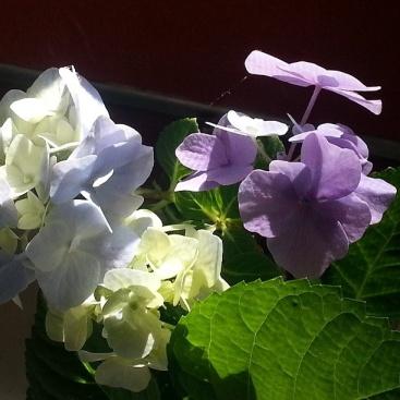 morning light on flowers hydrangae